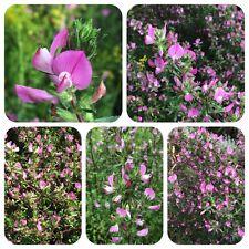 Dornige Hauhechel Ononis spinosa alte Heilpflanze Bienenweide Wildpflanze