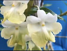 Dendrobium uniflorum Orchid Species 2.5� Pot (12)