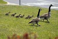 Canadian Geese Family Walk Picture Print Photo 8x10 Wall Art Home Decor Bathroom