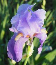 'Juniata' 1909 Old Fashioned Light Purple Flags Tall Bearded Iris 1 plant