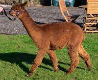 Alpaca Fleece 100% for spinning or felting 1kg dark fawn