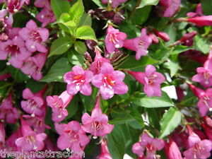Hummingbirds Old Fashioned Weigela Florida Shrub Bush Seeds, Garden Flowers