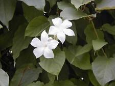 Chilean Jasmine (Mandevillea suaveolens)  10 Seeds