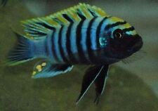 Four Fish Colony, Nkhata Bay Afra, 1.5 Inch Yellow blaze Live African cichlid