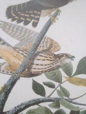 Pigeon Hock Merlin Falcon Audubon Bird Print Picture Plate Poster Art