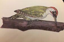 JAN SOLOVJEV Vintage Picture The Green Woodpecker P41 Print Art bird Photo Birds
