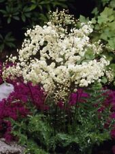 25+ FILIPENDULA / DROPWART FLOWER SEEDS, DEER & RABBIT RESISTANT, SHADE, EASY