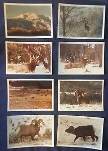 VTG photos Bighorn Sheep Elk Bears 4x6 Wildlife 1978