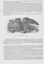 Long-Eared Owl Otus Waldkauz Waldohreule Holzstich von 1863 Brown Owl Eulen