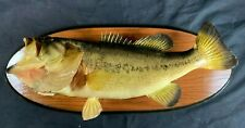 Vintage 1984 Clean Real Largemouth Bass Fish Taxidermy 21 inch Mount Decor