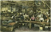 Modern Orange Packing House California CA Inside View Conveyer Belt Postcard
