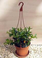"Goldfish Live Plant Flowers Blooms 4""Hanging Basket Indoor Outdoor Garden Gift"