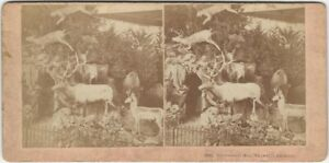 Colorado Taxidermy by Mrs. Maxwell Centennial Exposition Stereoview Card