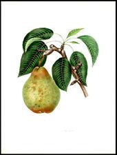 Nouveau Poiteau Pear 1855 Alexandre Bivort Hand-Colored Lithograph Horticulture