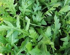 1.000 Graines de Roquette cultivée BIO - Eruca sativa - Salade, mesclun