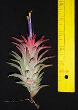 New listing green ionantha vanhyningii tillandsia airplant. 4 inch tall size. oahu hawaii