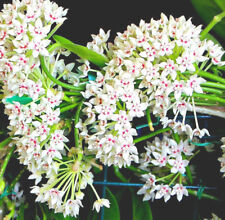 HOYA AUSTRALIS ssp. TENUIPES  (ROOTED PLANT)