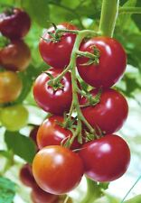 VEGETABLE TOMATO SHIRLEY F1 15 FINEST SEEDS