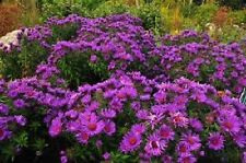 40+ ROSY LILAC NEW ENGLAND ASTER FLOWER SEEDS /  / SELF-SEEDING ANNUAL