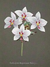 PAINTING BOOK PAGE ORCHID SPATHOGLOTTIS AUGUSTORUM LARGE ART PRINT POSTER LF1491