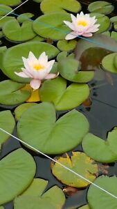 Weiße Seerose Pflanzen Teichpflanzen Wasserpflanzen winterhart wasserreinigend