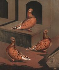 PIGEONS. Almond Tumbler hen; 1½ years; 2½ years; 4 years. Chromolithograph 1880