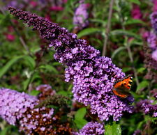 Schmetterlingsstrauch Sommerflieder Buddleja davidii 'Fascination'  60 - 80 cm