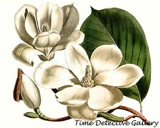 Botanical Illustration of a Magnolia Bloom
