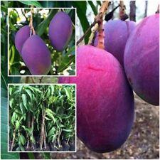 "Mango Tree Plant Grafted ""Nam Dok Mai"" Purple Mango Fruit Tropical Thailand 20''"
