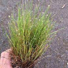 Fiber Optic Grass Isolepis Scirpus cernuus Fairy Garden Live Plant 2� Pot