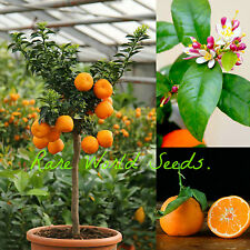 Dwarf Lime Tree (Citrus limonia) 'Rangpur Lime'. indoor OR outdoor tree! SEEDS.