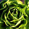lettuce, BUTTERCRUNCH, BUTTER CRUNCH, 270 seeds! GroCo*