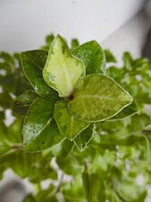 1 Pittosporum tenuifolium Loxhill Gold 3L Pot Evergreen Shrubs Plants 40-60cm