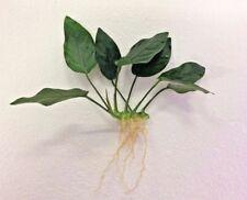ANUBIAS NANA rooted plant for wood bogwood hardy Live Aquarium Aquatic Plants