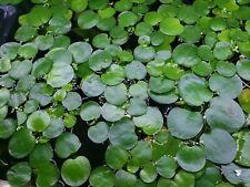 *BUY 2 GET 1 FREE* Frogbit - Floating Aquarium Plants ✅