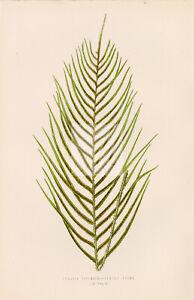 LOMARIA Capensis Fern Illustration by Edward Lowe - 1856 Artwork #A496