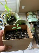 Organic Fledgling Lemon Trees