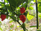 10 Carolina Reaper, hot pepper seeds