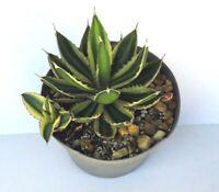 """Agave lophantha 4 color Quad color variegated Agave Large 6"""" pot size"""