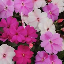 MAGIC MIX NEW GUINEA Impatiens plants - large 4cell seedling punnet