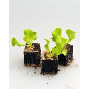 Gemüsepflanzen - Kopfsalat grün / Mona - Lactuca sativa - verschiedene Mengen