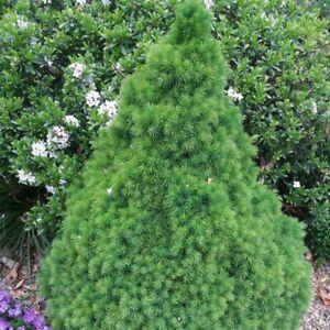 6 Picea glauca var.albertiana Conica Dwarf Conifer