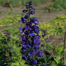 50 Black Knight Delphinium Mix Seeds Perennial Flowers Seed Flower 13 Us Seller