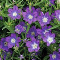 Legousia- Blue- 100 Seeds - - BOGO 50% off SALE