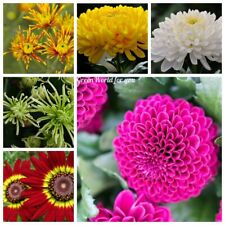 100 Chrysanthemum Flower Seeds Rare 10 Kinds Annual Perennial Home Garden Plants