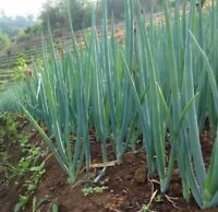 USA-Sellers onion, WHITE LISBON, green bunching onion or SCALLION, 50 SEEDS