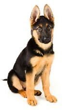 GERMAN SHEPHERD STICKER, 13cm x 7cm, Decal, Dog, Magnet Available, Free Aus Post
