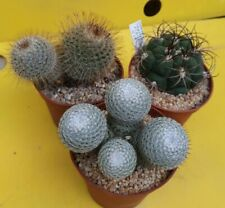 Special CACTUS kit: 3 special pieces selected OWN ROOTS copiapoa aztekium