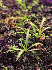 Drosera Regia 10 SEEDS King Sundew South Africa Carnivorous Plant