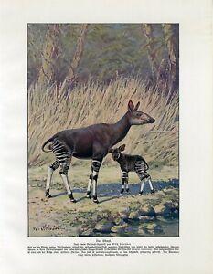 c1900 OKAPI Antique Litho Print W.Bolsche